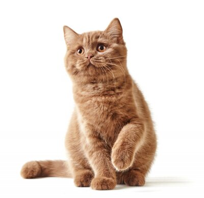 Póster retrato de gatito británico