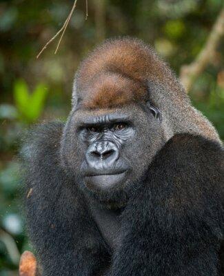Retrato de gorila de tierras bajas. República del Congo. Una excelente ilustración.