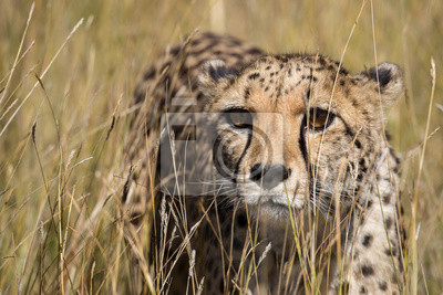 Retrato de guepardo en hierba alta