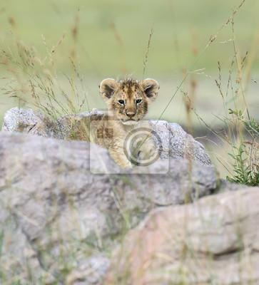 Retrato de león africano