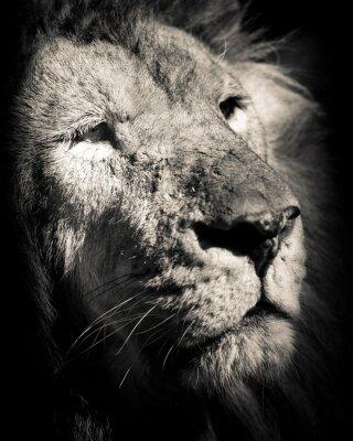 Póster Retrato de león - foto en blanco y negro