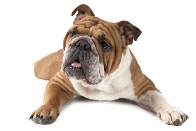 Póster Retrato de pura sangre Inglés Bulldog sobre fondo blanco