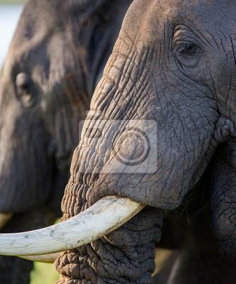 Retrato de un elefante con colmillos. Uganda.