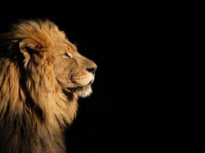 Póster Retrato de un gran macho león africano en negro