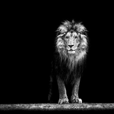 Póster Retrato de un hermoso león, el león en la oscuridad