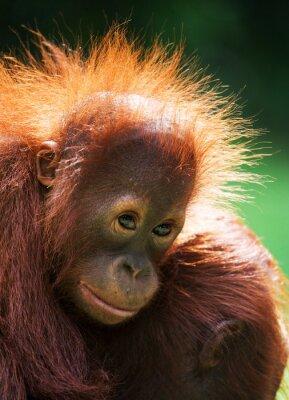 Retrato de un joven orangután