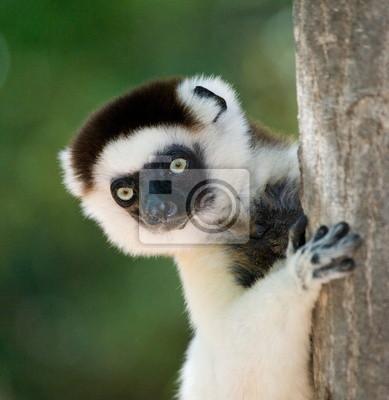 Retrato de un Lemur. Madagascar.