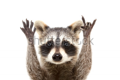Póster Retrato de un mapache divertido que muestra un gesto de roca, aislado sobre fondo blanco