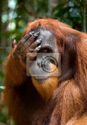 Retrato de un orangután. Borneo.