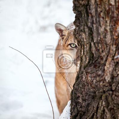 Póster Retrato de un puma, león de montaña, puma, puma detrás de un árbol.