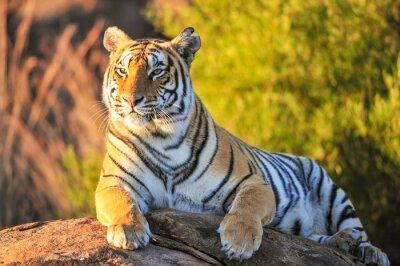 Póster Retrato de un tigre