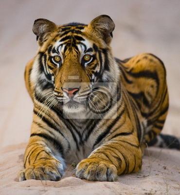Retrato de un tigre de Bengala. India.