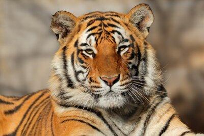 Póster Retrato de un tigre de Bengala (Panthera tigris bengalensis).
