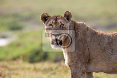 Retrato de una leona en la sabana. Zambia.