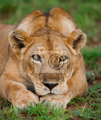 Retrato de una leona. Uganda.