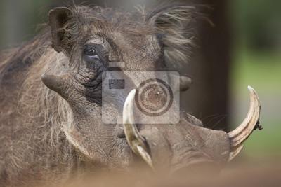 Retrato de Warthog
