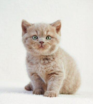 Póster Retrato del gatito británico del pelo corto