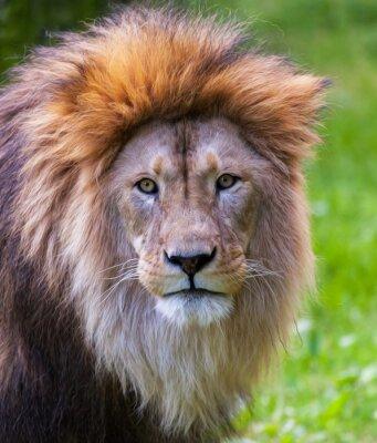 Póster Retrato del león