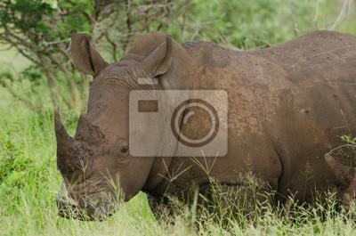 Retrato del rinoceronte blanco