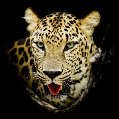 Póster Retrato Leopardo