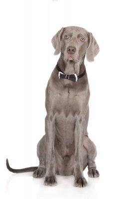 Póster Retrato serio del perro de weimaraner en una pajarita