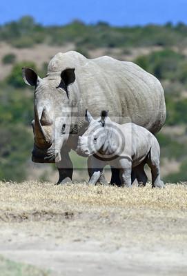 Rinoceronte blanco en el parque Solio en Kenia.
