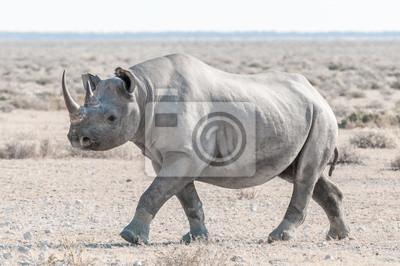 Rinoceronte negro cubierto de polvo de calcrete blanco, caminando