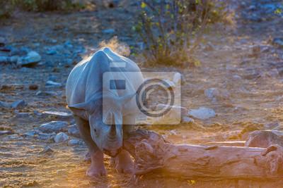 Rinoceronte negro en la tarde usando una paz de árbol para rascarse su cara. Norte de Namibia, África