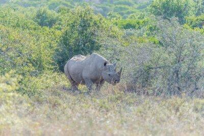 Rinoceronte negro escondido en la sombra