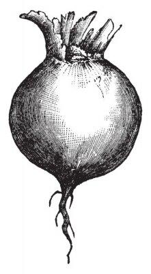 Póster Root vintage illustration.