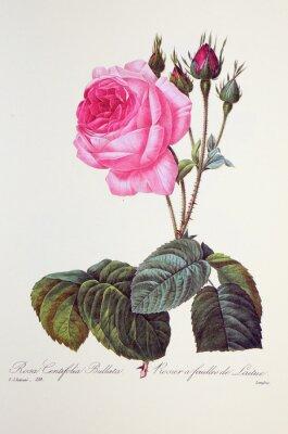 Póster Rosa centifolia bullata / Rosa a las hojas de leche