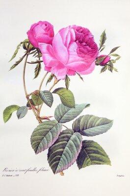 Póster Rosa centifolia / Rose Centfeuilles foliacé
