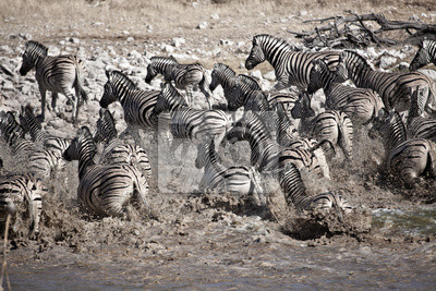 Running Zebra's
