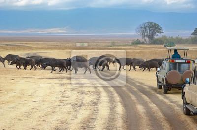 Safari en África, los turistas en jeeps viendo búfalos cruzando camino en la sabana del Parque Nacional Kruger, la fauna de Sudáfrica