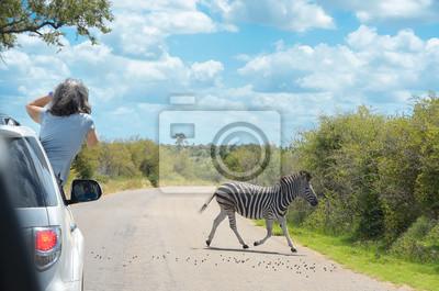 Safari en África, mujer haciendo foto de cebra de coche, viajar en Kenia, la sabana la vida silvestre y los animales