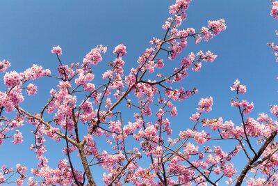 Póster Sakura