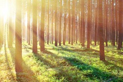 Póster Salida del sol en el bosque de pinos