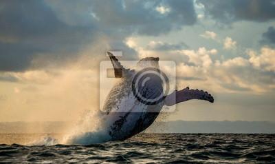 Salto ballena jorobada al atardecer. Madagascar.