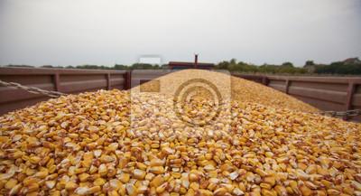 Semillas de maíz de maíz en el remolque del tractor