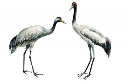Póster set of beautiful birds crane on isolated white background, watercolor illustration