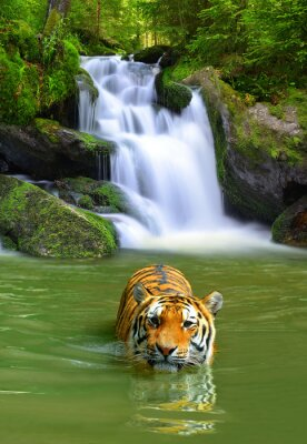 Póster Siberian Tiger in water