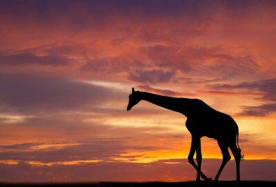 Póster Silueta de una jirafa en contra de una hermosa puesta de sol