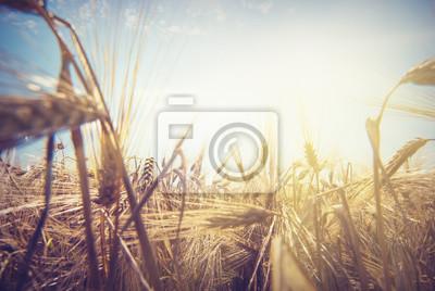 Sol de trigo_1