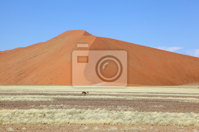 Springbok frente a gran duna