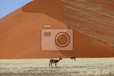 Springbucks en la duna