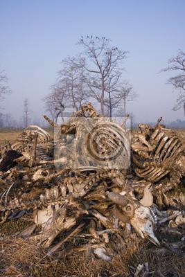 Squelette bétail