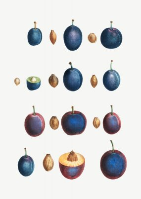 Póster Stages of a plum