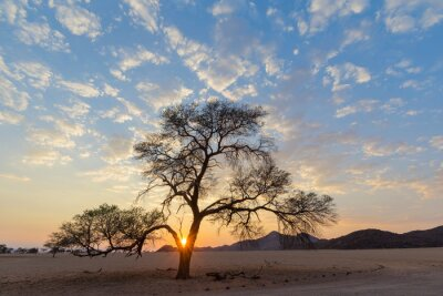 Starburst from rising sun behind camelthorn tree in Namib Desert