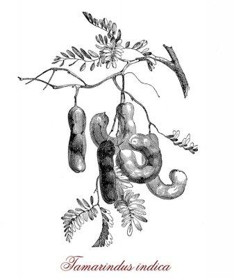 Póster Tamarindus indica
