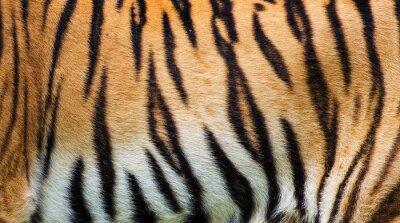 Póster Textura de piel de tigre de cerca
